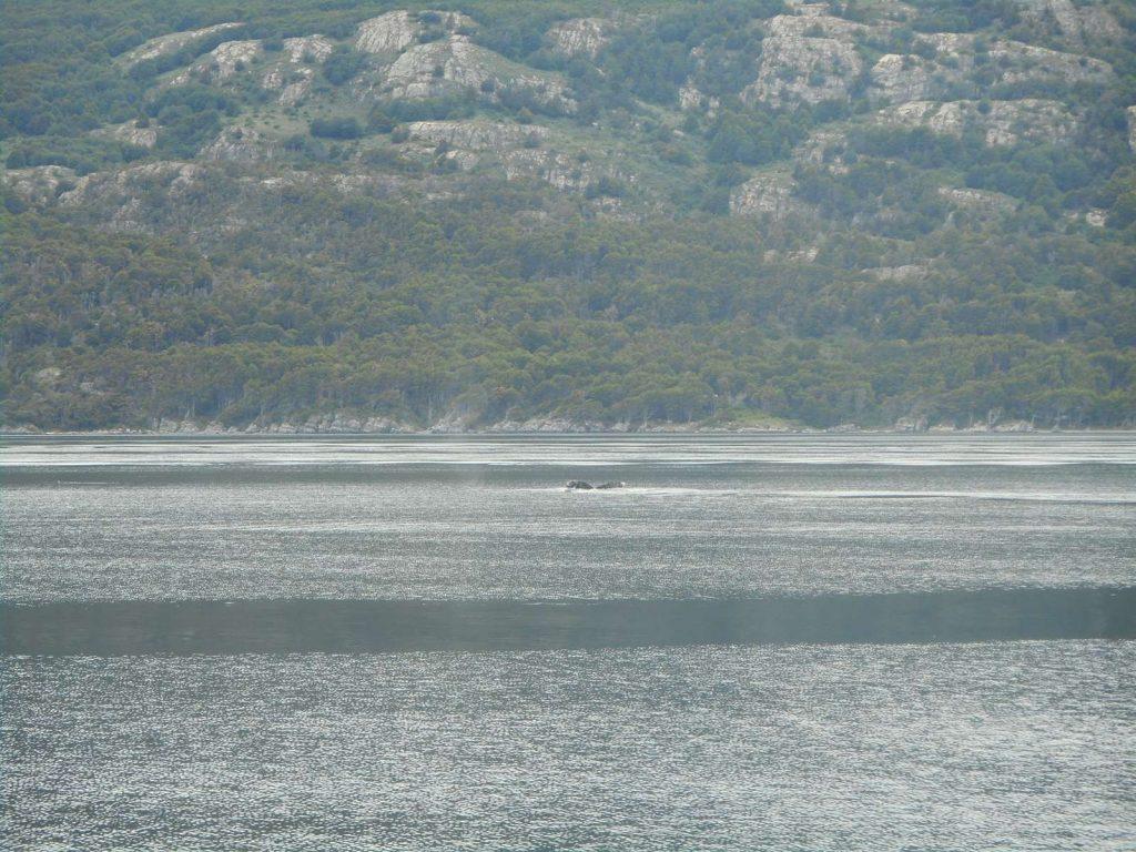 argentina-baleine