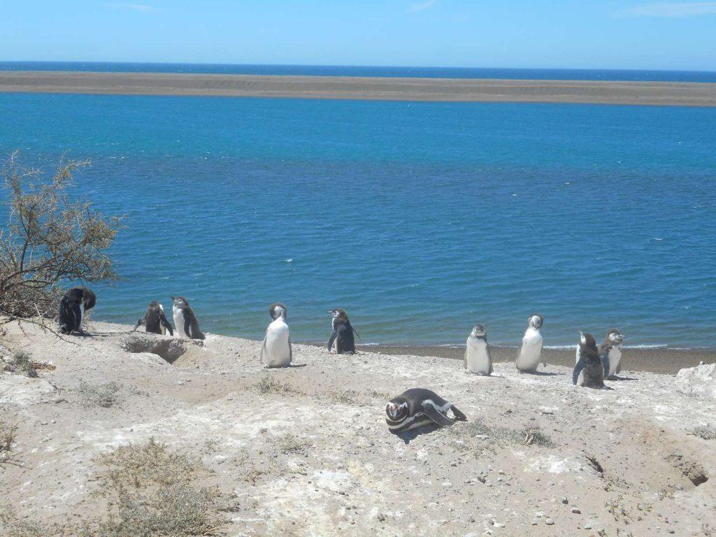 argentina-pingouins