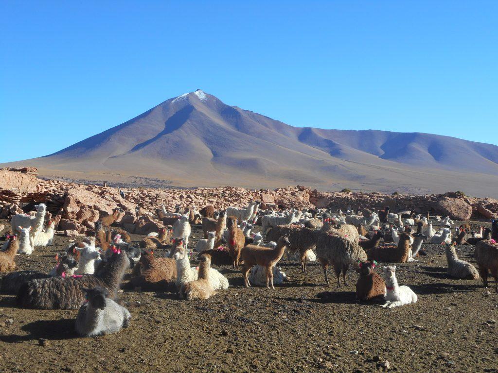bolivia-llamas