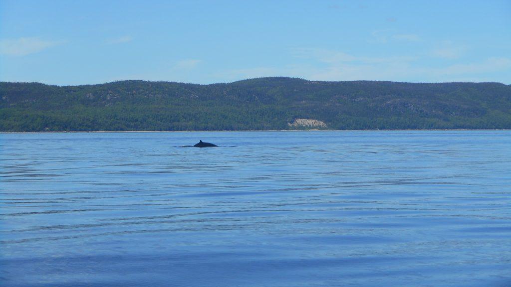 canada-baleine